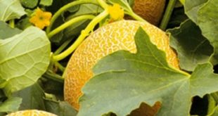 Как вырастить дыни на даче